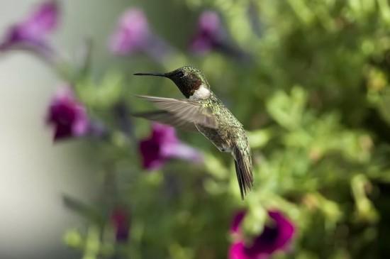蜂鸟与鲜花