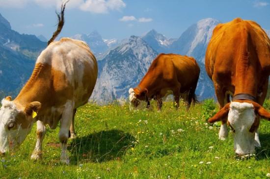温顺的奶牛