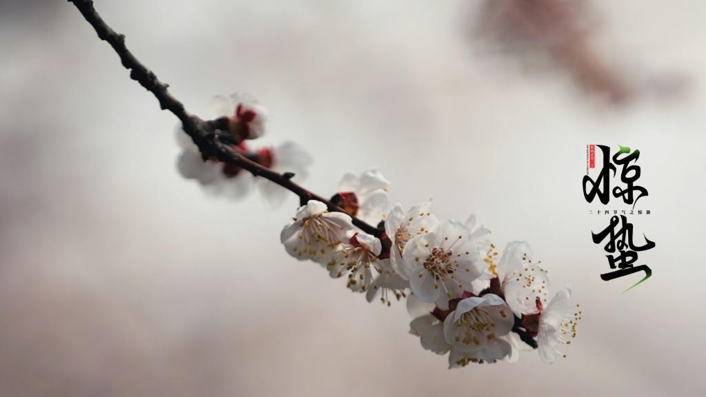 惊蛰时节杏花朵朵开