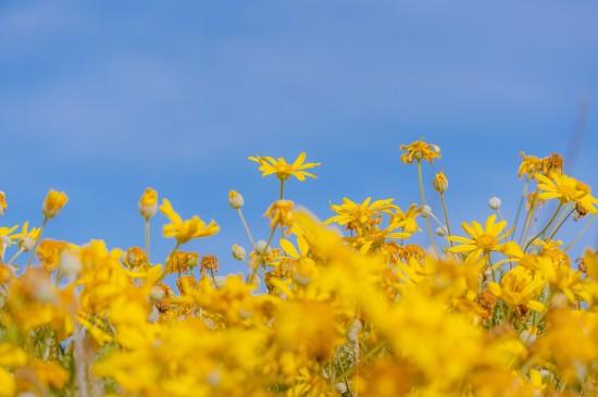 蓝天下的黄金菊