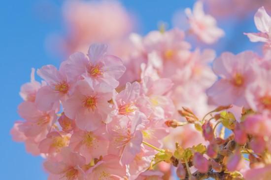 浪漫的春天早樱风光