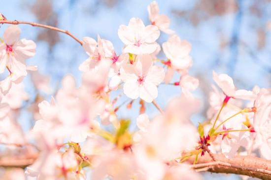 共赏早春樱花美景