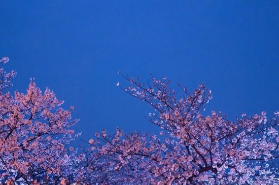 夜空下的浪漫樱花