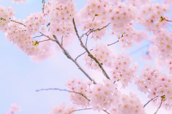 樱花明媚烂漫胜景