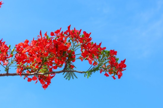 艳丽唯美的凤凰花