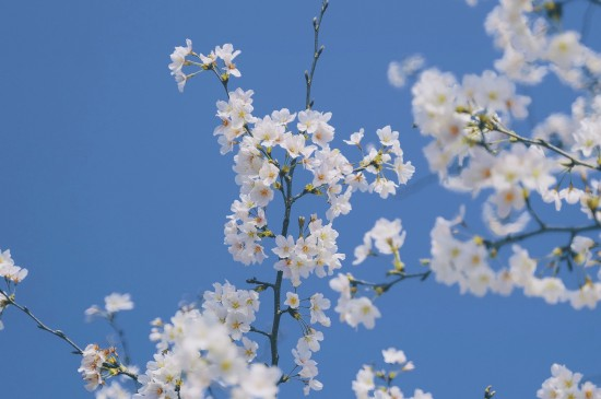 樱花集市的烂漫风光