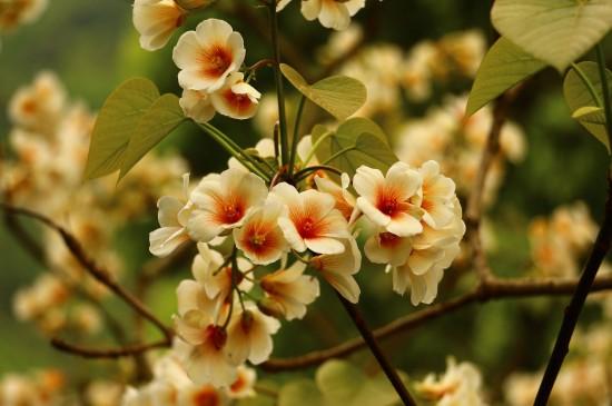 清新雅致的油桐花