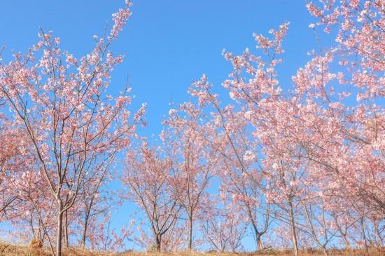 小清新的樱花树林风光