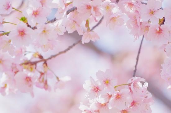 樱花灿烂唯美风光