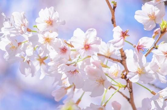 浪漫迷人的樱花