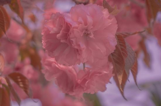 春日里枝头上盛开的花朵