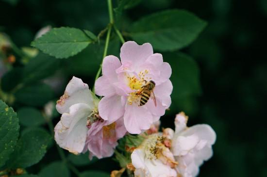 花朵里采蜜的蜜蜂