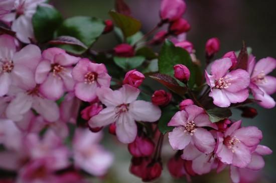 粉嫩迷人的海棠花