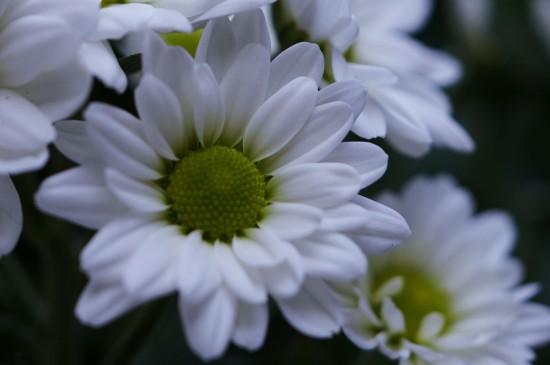清新养眼的菊花