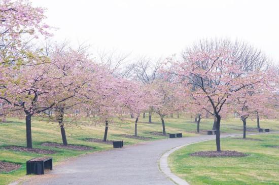 雨中清新迷人樱花林