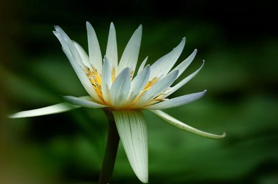 美丽淡雅的睡莲花