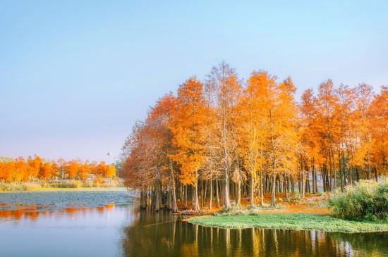 冬日里的落羽杉美景