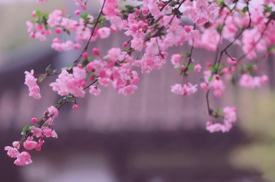 最美不过海棠花开
