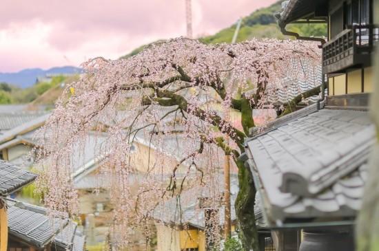 粉色的浪漫樱花
