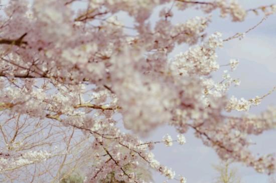 醉人的樱花盛开