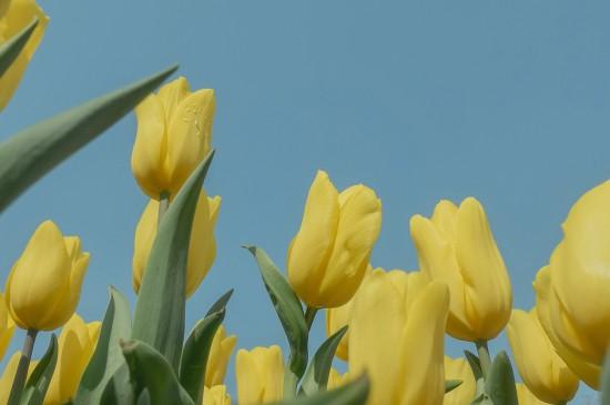 春天的郁金香浪漫花卉