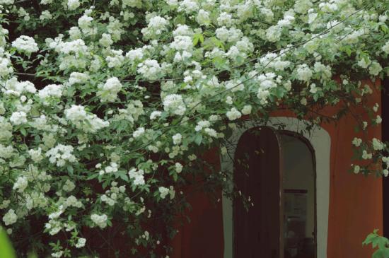 清新迷人的木香花