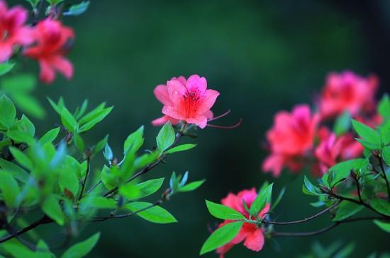 艳丽的杜鹃花景色