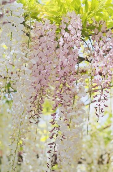 梦幻的三色紫藤花开