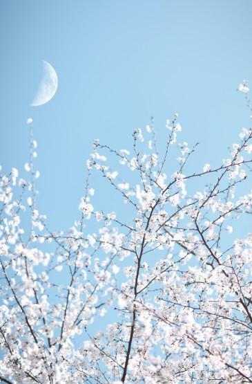 浪漫的春天樱花景色