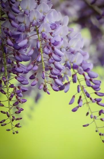 茂盛优美的紫藤花