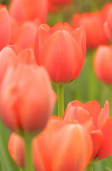 春日绽放的郁金香