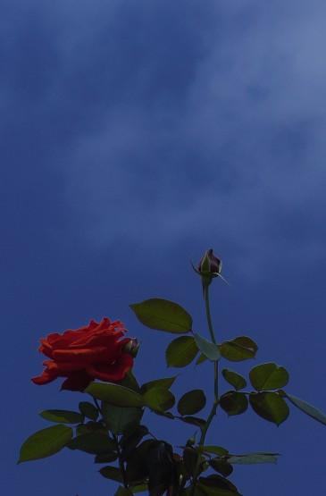 浪漫的火红玫瑰