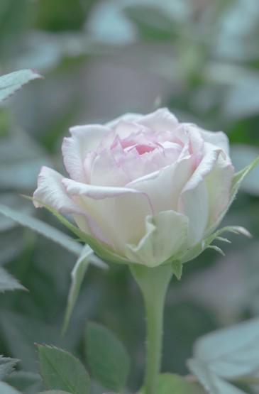 春季盛开的玫瑰花