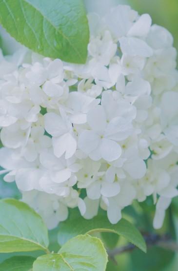 淡雅自然的绣球花