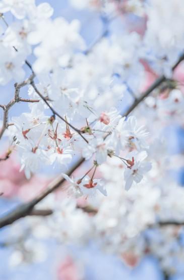 早春樱花盛开