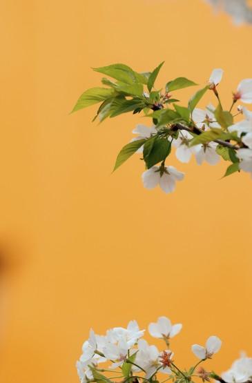 鸡鸣寺的清新樱花