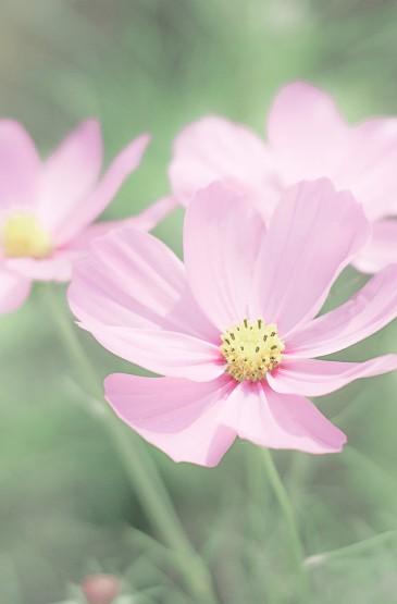 清新可爱的波斯菊