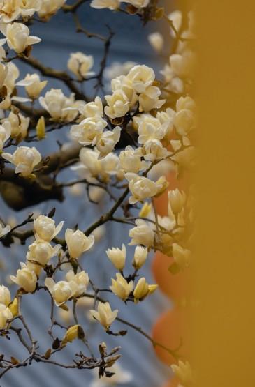 寺庙中的玉兰花景色