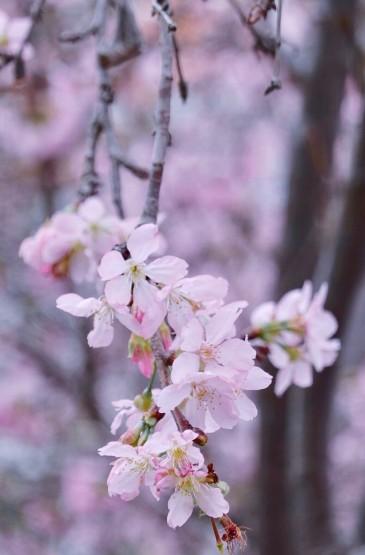 迎接春季唯美樱花