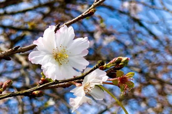 盛开的唯美樱花