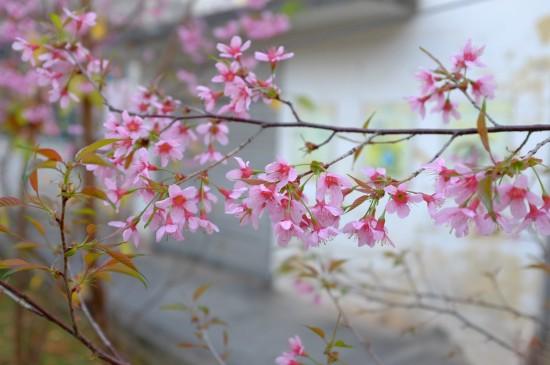盛开的迷人樱花