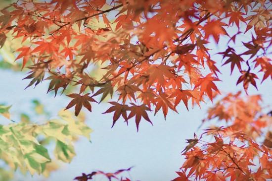 唯美迷人的枫叶
