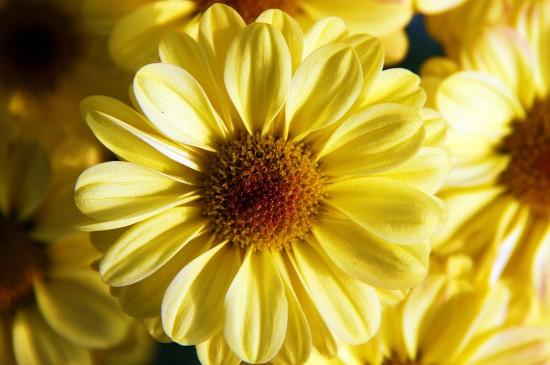 微距摄影非洲菊