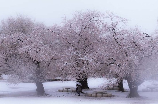 一场唯美梦幻的樱花雪