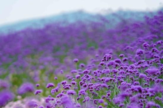 紫色浪漫唯美花海