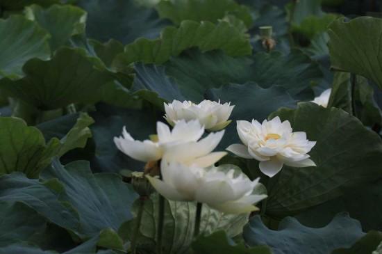 荷叶里的唯美莲花