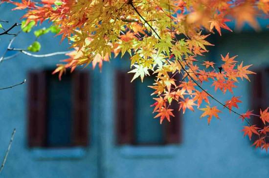 上海的枫叶季