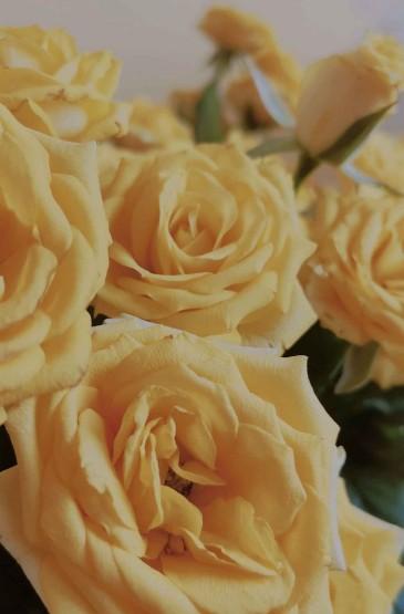 优雅美丽的黄玫瑰