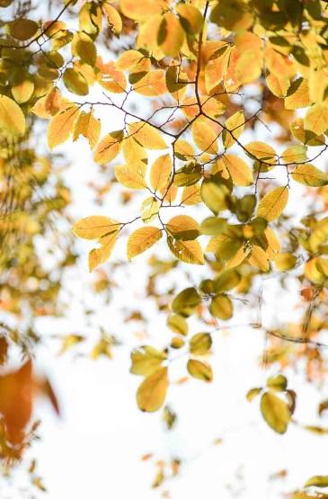 大叶榉树的清新树叶风光