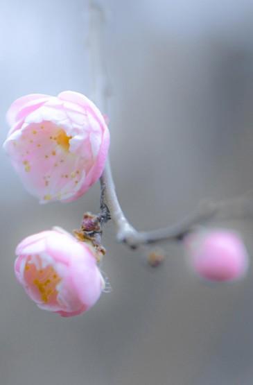 微距小清新梅花摄影